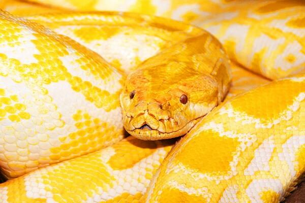Жёлтые рептилии - Бирманский или тёмный тигровый питон