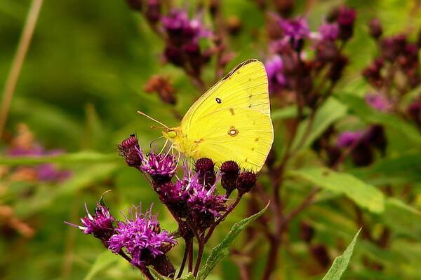Животные жёлтого цвета - Бабочка-желтушка (Colias philodice)