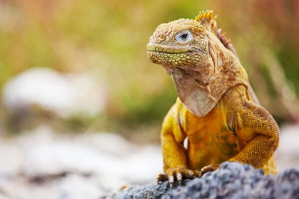 Жёлтые рептилии - Обыкновенный или галапагосский конолоф