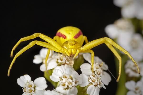 Жёлтые животные - Цветочные пауки