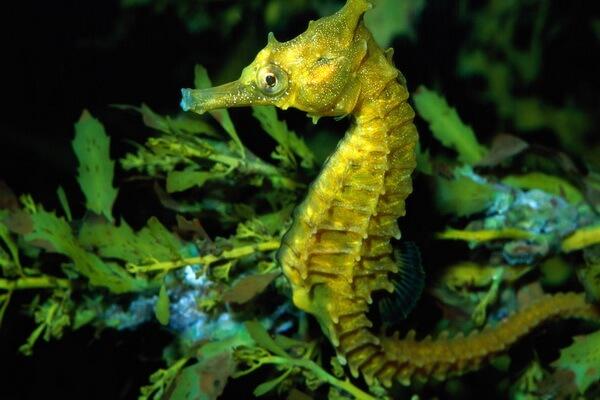 Жёлтые животные - Пятнистый или жёлтый морской конёк