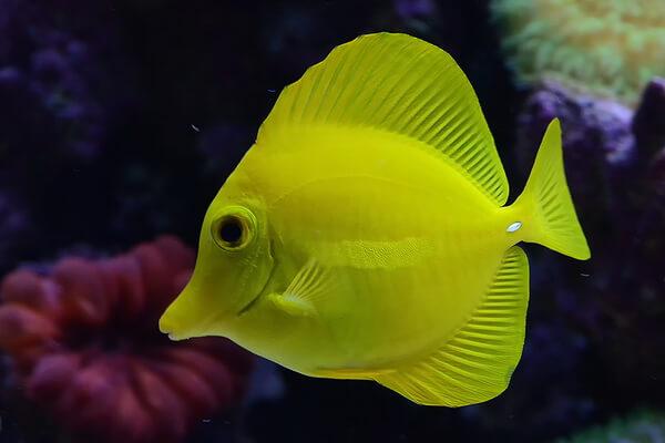 Животные жёлтого цвета - Рыба зебрасома жёлтая
