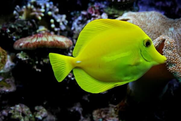 Жёлтые животные - Жёлтый парусник