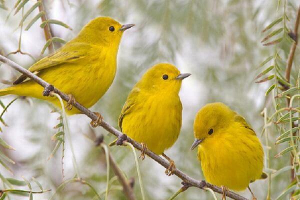 Птицы жёлтого цвета - Жёлтая древесница