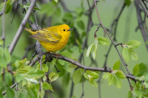 Жёлтые животные - Жёлтая древесница