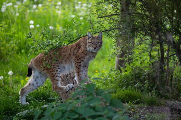 Обыкновенная рысь - фото и описание