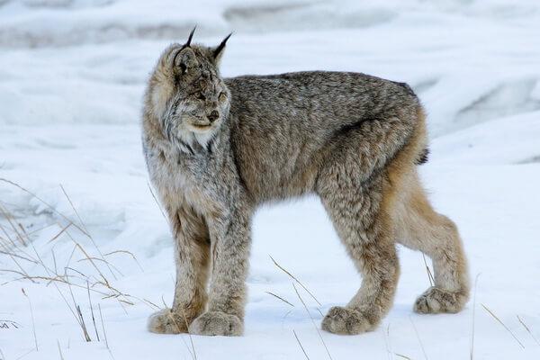 Виды рысей с фото и описанием - Канадская рысь
