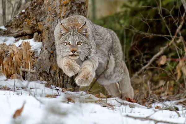 Канадская рысь - фото и описание