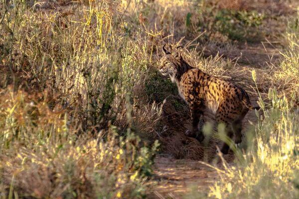 Виды рысей с фото и описанием - Пиренейская рысь