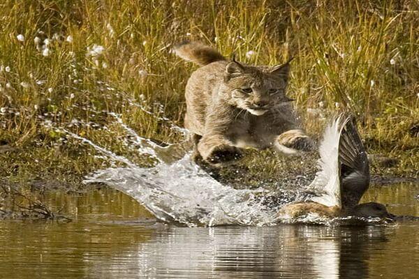 Как охотится рысь