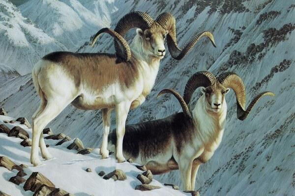 Животные Афганистана с фото и описанием - Памирский архар