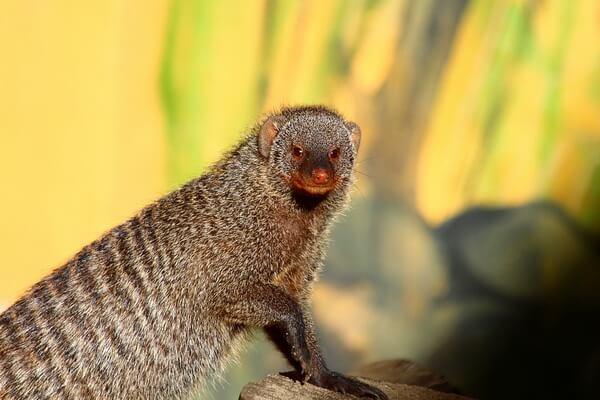 Животные Афганистана с фото и описанием - Полосатый или зебровый мангуст (мунго)