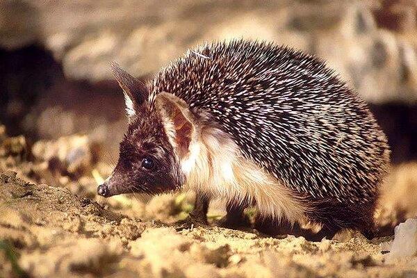 Животные Афганистана с фото и описанием - Эфиопский ёж