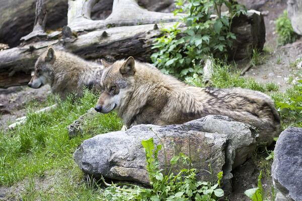 Животные Афганистана с фото и описанием - Серый волк