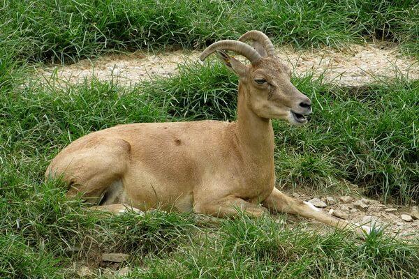 Животные Афганистана с фото и описанием - Уриал