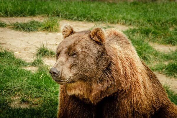 Животные Алтая с фото и описанием - Бурый медведь