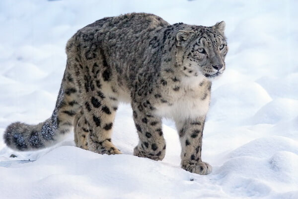 Животные Алтая с фото и описанием - Ирбис