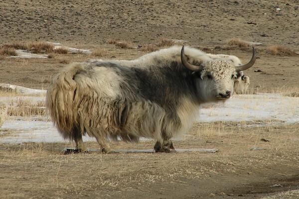 Животные Алтая с фото и описанием - Тибетский бык или сарлык