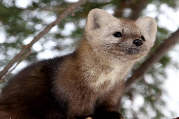Животные Алтая с фото и описанием - Соболь