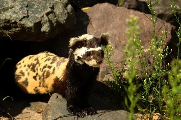 Алтайские животные с фото и описанием - Перевязка
