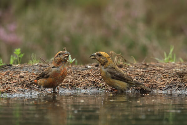 Птицы Алтая с фото - Клёст