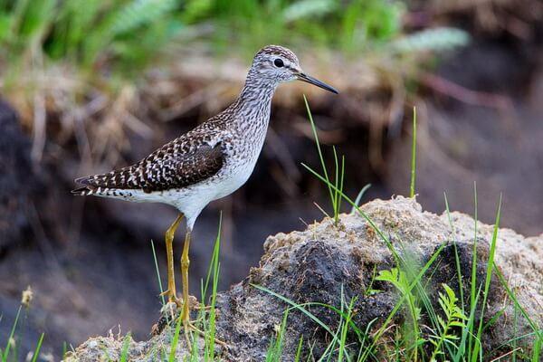 Птицы Алтая с фото и описанием - Фифи