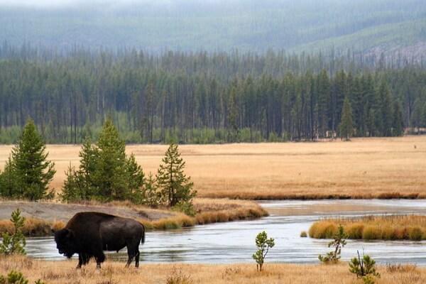 Животные Аляски с фото и описанием - Бизон