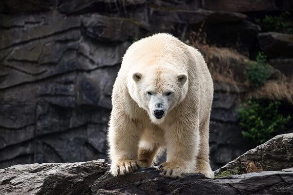 Животные Аляски с фото и описанием - Белый медведь