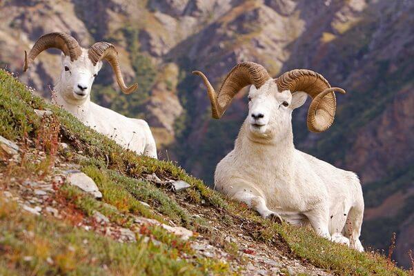 Животные Аляски с фото и описанием - Баран Далла или тонкорогий баран