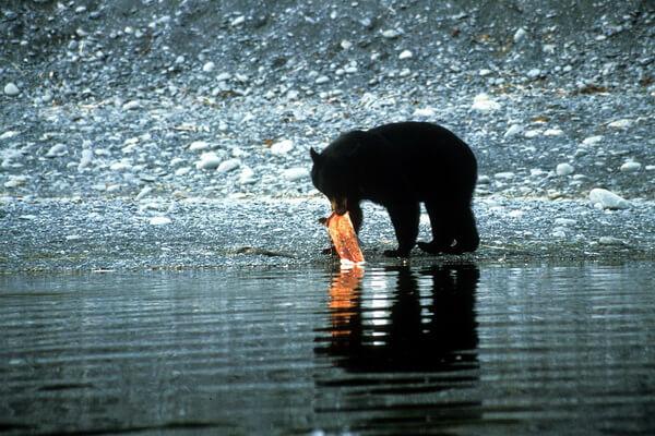 Животные Аляски с фото и описанием - Бурый медведь