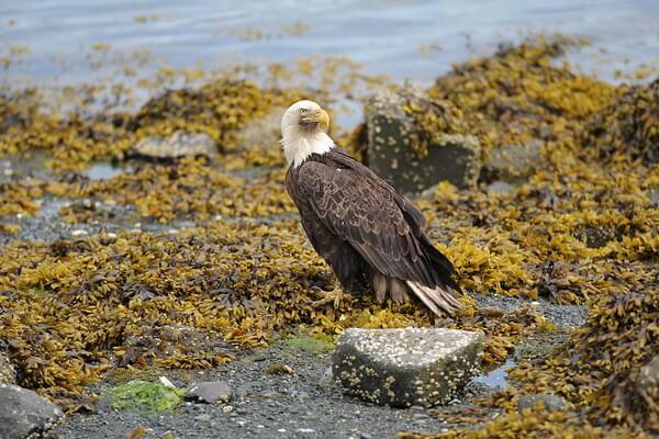 Животные Аляски с фото и описанием - Белоголовый орлан
