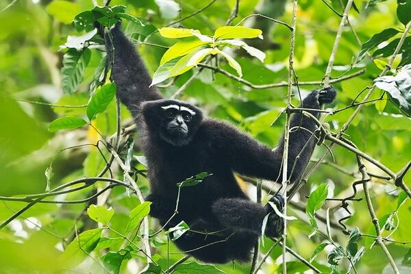Животные Бангладеш с фото и описанием - Западный хулок
