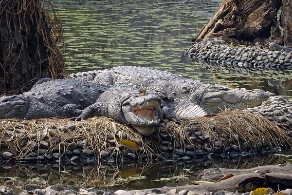 Животные Бангладеш с фото и описанием - Болотный крокодил или магер
