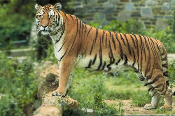 Животные Бангладеш с фото и описанием - Бенгальский тигр