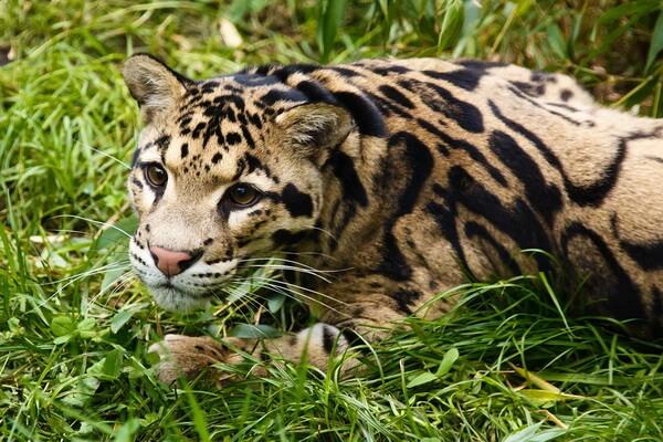 Животные Бангладеш с фото и описанием - Дымчатый леопард