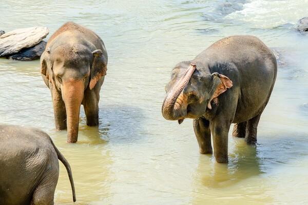 Животные Бангладеш с фото и описанием - Азиатский слон