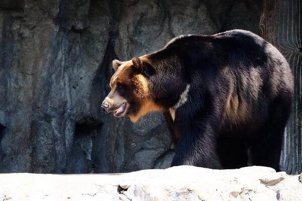 Животные Бангладеш с фото и описанием - Гималайский или белогрудый медведь