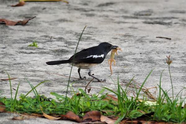 Животные и птицы Бангладеш с фото и описанием - Сорочий шама-дрозд или индийская сорочья славка