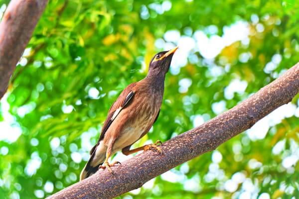Животные и птицы Бангладеш с фото и описанием - Обыкновенная майна или саранчовый скворец