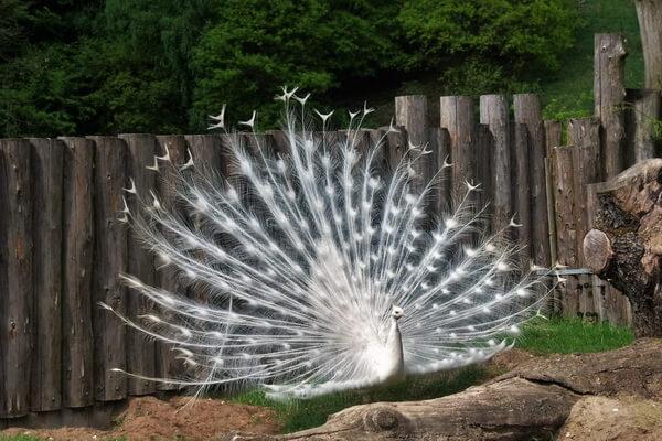 Животные белого цвета с фото и описанием - Белый павлин