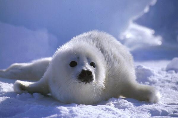 Животные белого цвета с фото и описанием - Детёныши гренландского тюленя