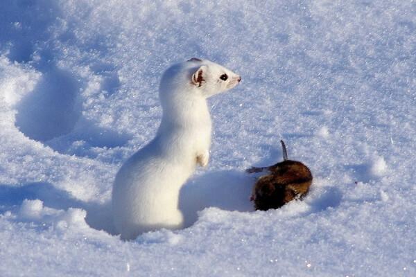 Животные белого цвета с фото и описанием - Арктический горностай