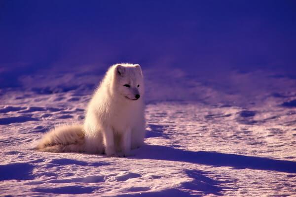Животные белого цвета с фото и описанием - Песец