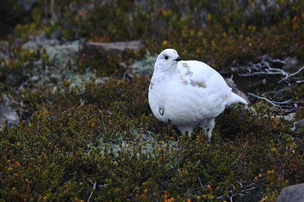 Животные белого цвета с фото и описанием - Белохвостая куропатка