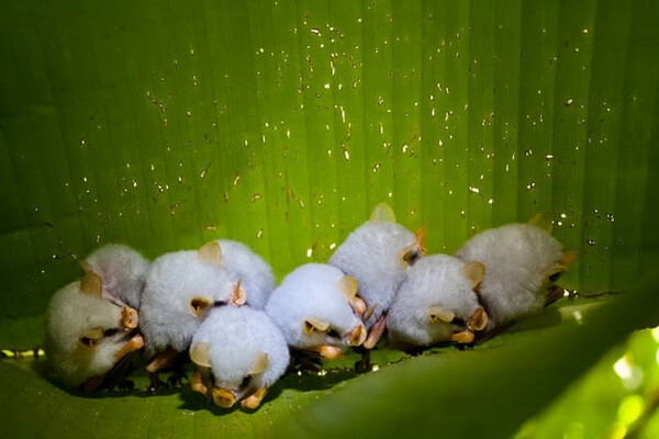 Животные белого цвета с фото и описанием - Белый листонос (вид летучих мышей)
