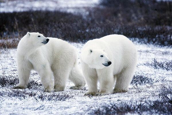 Животные белого цвета с фото и описанием - Белый медведь