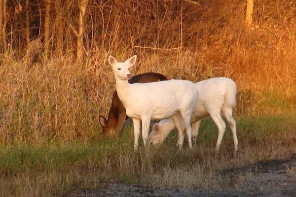 Животные белого цвета с фото и описанием - Белые олени Сенека