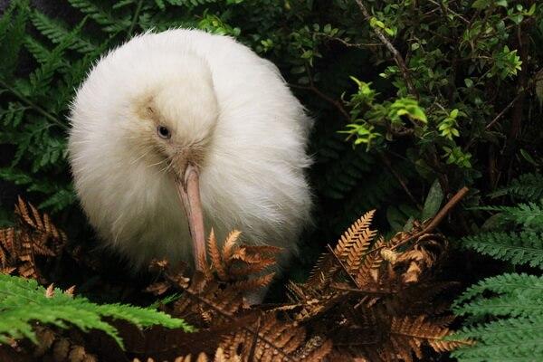 Животные белого цвета с фото и описанием - Белый киви