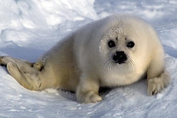 Фауна Белого моря - Гренландский тюлень