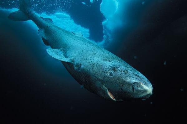 Животные Белого моря с фото и описанием - Полярная акула